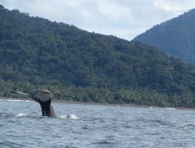 A whale tail sticking out of the water with the jungle covered hills of Chocó behind, a common site when you go whale watching in Colombia.