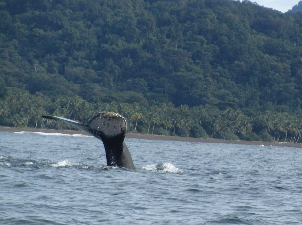 A whale's tail stuck out of the water with the jungle behind, sites you can see when you go whale watching in Nuquí, Colombia.