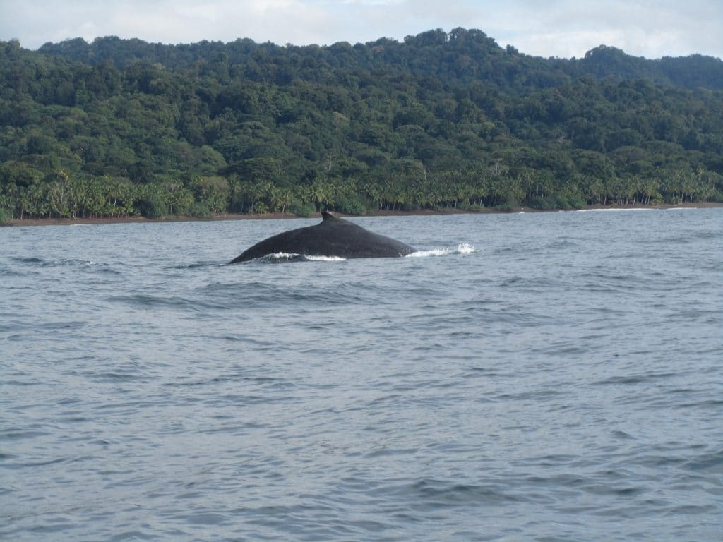 A whale surfacing with the jungle in the background behind it, what you'll see whale watching in Colombia in Nuquí.
