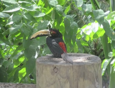 Photo of a bird with black and red feathers and a long beak perched at the Cartagena Aviary.