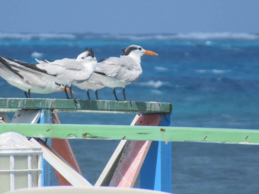 Photo of 2 birds perched overlooking the sea in Colombia San Andres Island.
