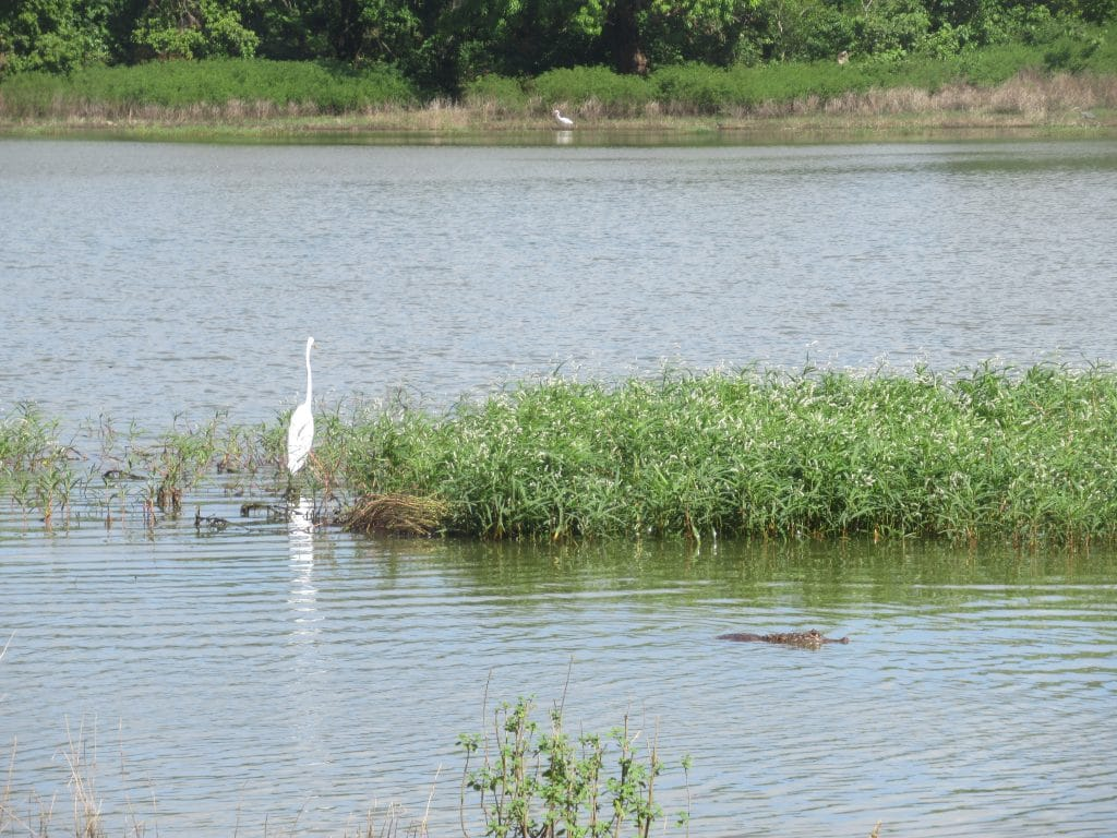 Photo of Big Pond with a bird on the left and the head of a caiman out of the water on the right.