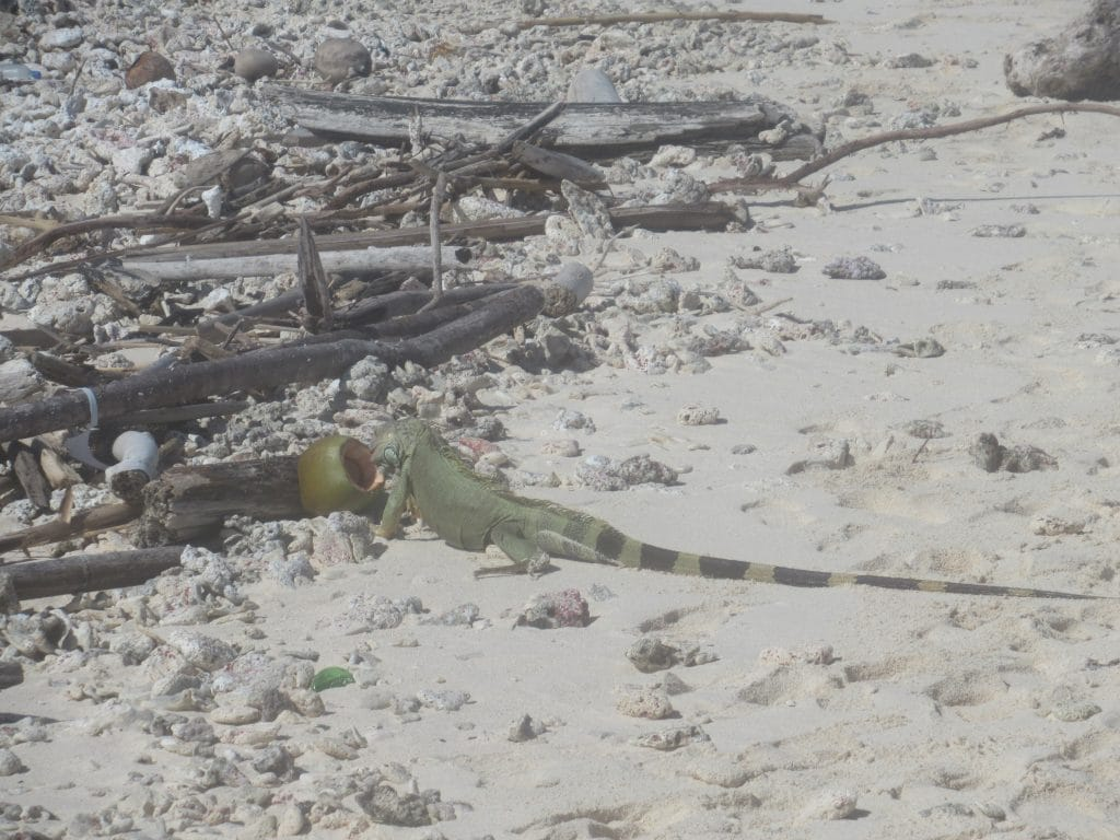 Photo of an iguana eating out of a coconut on Johnny Cay in San Andres.